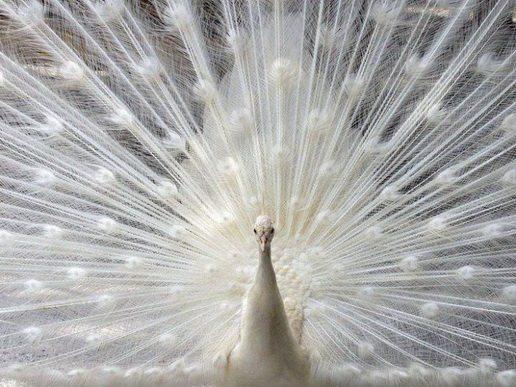 Peacock-70_25