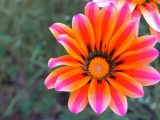 rome_flower_by_ielioi